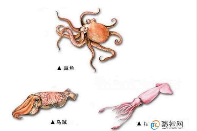 章鱼和鱿鱼的区别 如何辨别鱿鱼、章鱼和乌贼