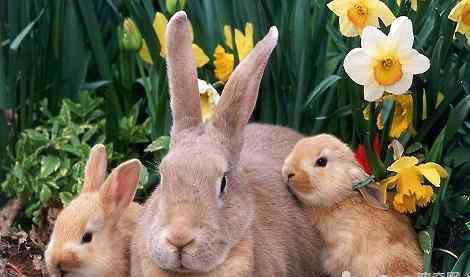 耳朵可以听声音还可以 兔子的耳朵除了听声音还有什么功能?