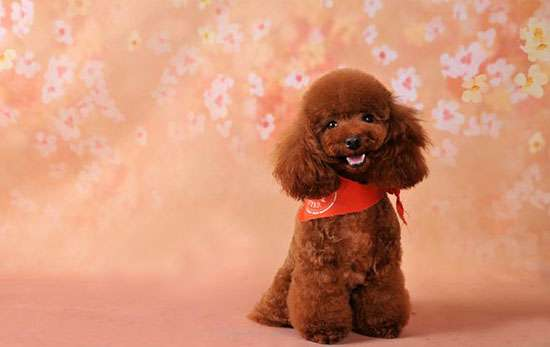 贵宾犬怎么养 泰迪犬怎么养才听话  八个动作让泰迪特别听话