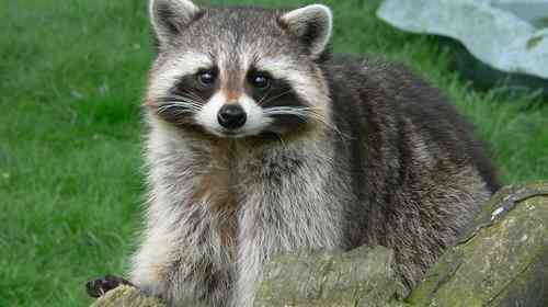 浣熊把我的猫吃了 浣熊真的会吃猫吗 别被萌萌的外表骗了
