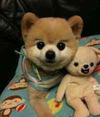 眼睛内侧长白色疙瘩图片 狗狗眼球里长了一个白色的包,狗狗的眼睛里面眼球上有白