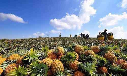 菠萝怎么吃最好 菠萝怎么做最好 菠萝好吃的做法简述