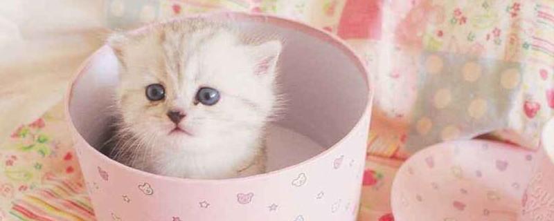 茶杯猫价格 茶杯猫的价格平均是多少,茶杯小猫几元一只