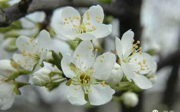 梅花和桃花的区别 阳春三月赏花季,该如何区分梅花、杏花、樱花、桃花、梨花、李花?