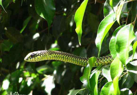 蛇树吃人图片 树蛇图片 九鼎人皇树下龙蛇