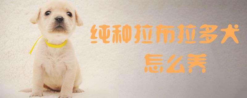 纯种拉布拉多犬 纯种拉布拉多犬怎么养