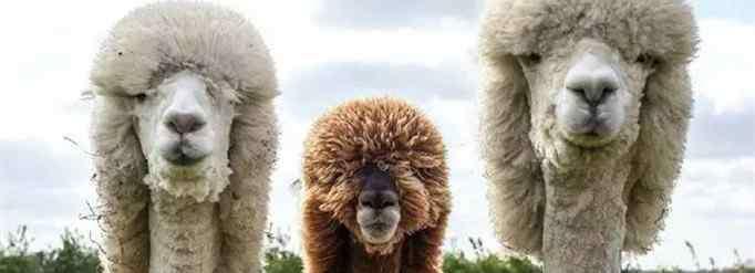 羊驼为什么吐口水 羊驼为什么吐口水?