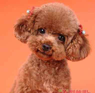 泰迪怎么剪毛 如何给泰迪狗剪毛 给泰迪狗狗剪毛教程