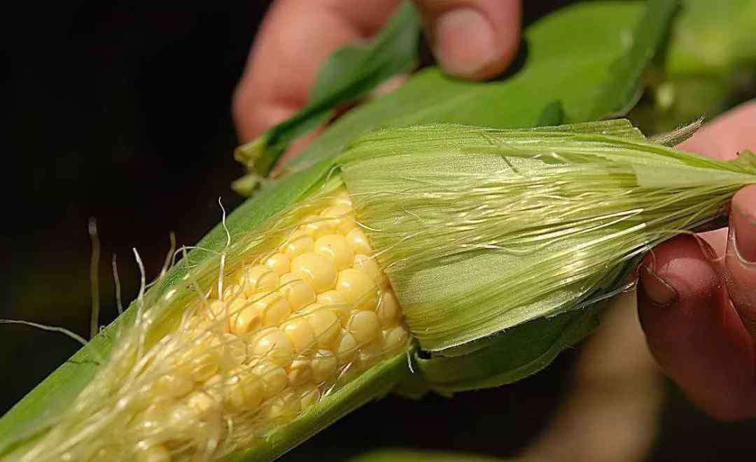 玉米须的副作用 玉米须可以长期喝吗 不正确饮用的情况下可出现的危害
