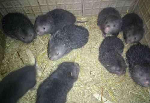 1万块能养多少竹鼠 竹鼠养殖何去何从 你知道吗
