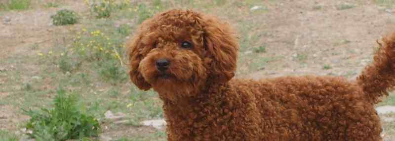 贵宾犬吃什么 泰迪除了狗粮能吃什么