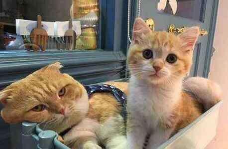 宠物猫的品种 中国本土常见的猫咪品种有哪些?