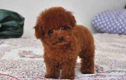 泰迪狗的禁忌 选宠物秘籍|选择健康宠物泰迪的九大注意事项