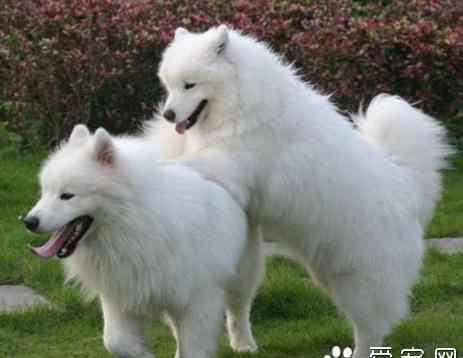 萨摩训练 萨摩耶犬的训练 训练基本方法和技巧