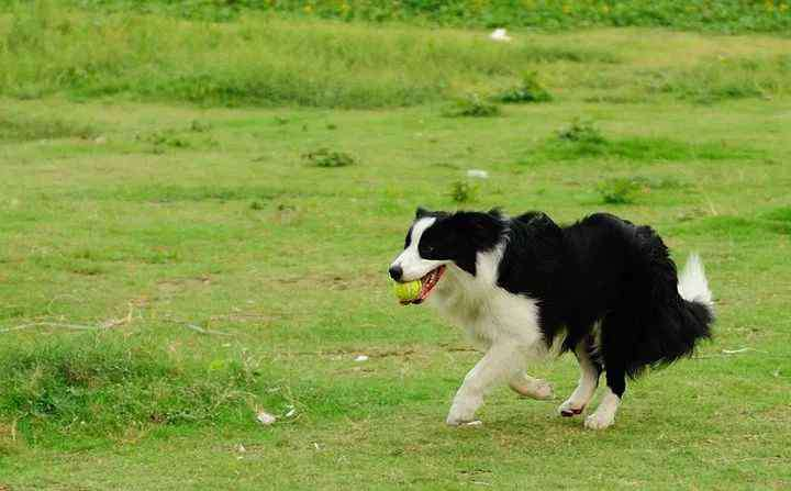 狗狗智商排名 狗狗智商排名,你家狗狗排第几?
