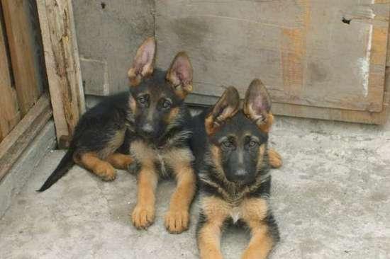德牧犬价钱 小德国牧羊犬多少钱一只 纯种德牧价格是多少