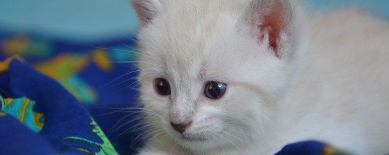 猫咪血尿 猫尿血怎么办,猫咪血尿能自己好么
