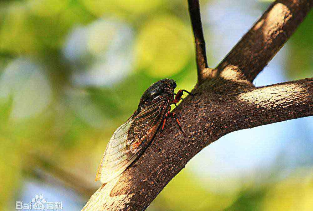 蝉的习性 知了吃什么 知了的习性是什么?