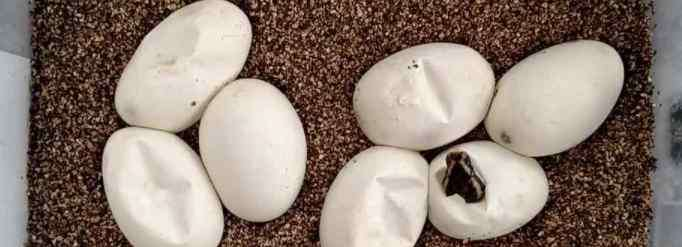 蛇蛋 为什么蛇蛋不容易摔破?