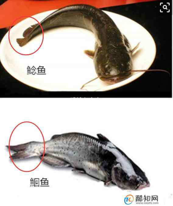 鮰 如何区别鮰鱼与鲶鱼