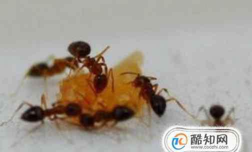 家里蚂蚁如何彻底清除 如何彻底杀死家里的蚂蚁