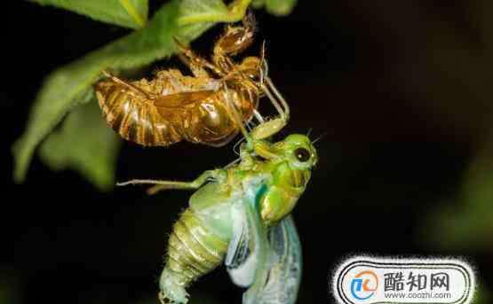 蝉的一生 蝉的一生,蝉是如何繁衍的