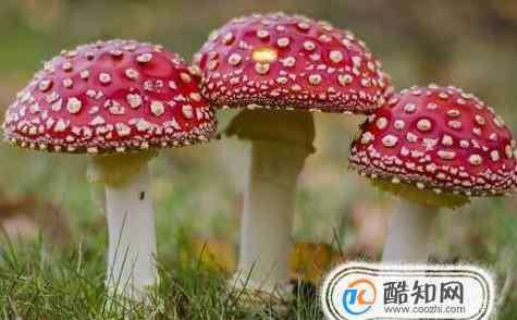 有毒的蘑菇 如何区分蘑菇是否有毒