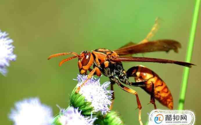 被马蜂蛰了怎么处理消肿最快 被马蜂蛰了怎么消肿