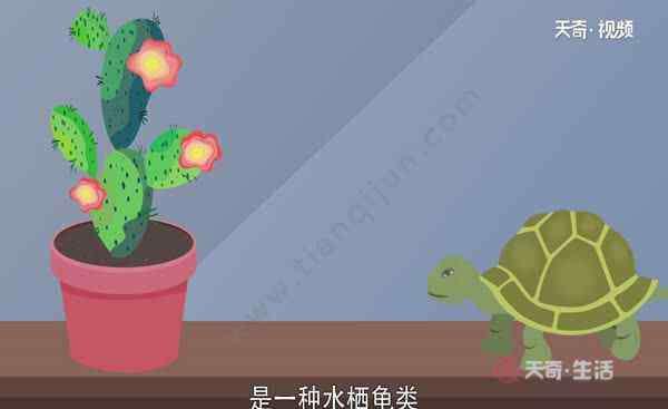 乌龟可以活多久 巴西龟寿命  巴西龟可以活多久