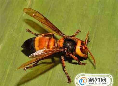 虎头蜂 被虎头蜂蛰了怎么处理