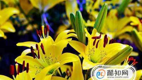 百合花的寓意 百合花的象征意义?