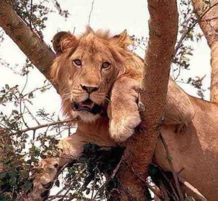 狮子会爬树吗 狮子会爬树吗?