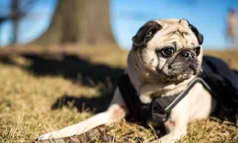 母狗来月经怎么办 母狗来月经怎么办?养宠物新手的你知道吗?