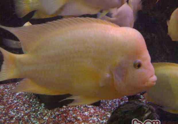 火鹤鱼 火鹤鱼的品种简介