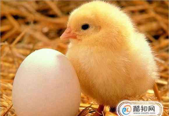 小鸡饲养 怎样饲养小鸡