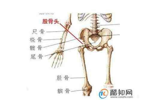 股骨头 股骨头在人体的哪个位置及作用