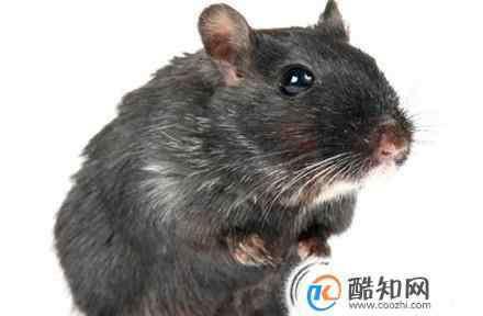 除老鼠的方法 治老鼠常用方法