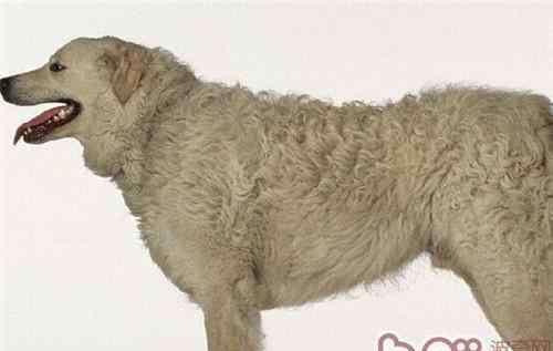 狗的外形特点 哥威斯犬的形态特征