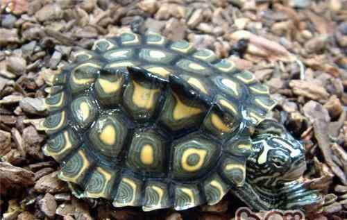肝斑图片大全 黄斑地图龟的外形特征