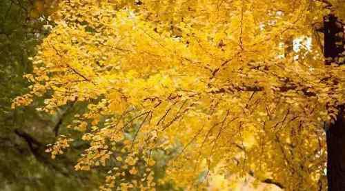 什么像什么的比喻句 银杏树叶像什么比喻句