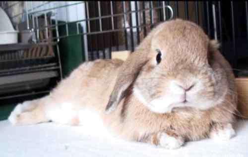 垂耳兔为什么不能养 为什么不养垂耳兔?垂耳兔的五大缺点
