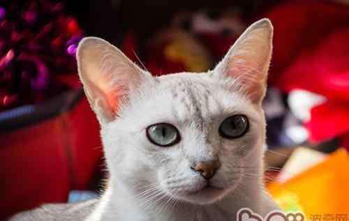 猫咪叫声大全 猫咪四种类型叫声