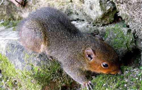 松鼠的特点 长吻松鼠的外形特点
