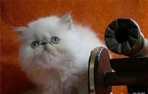 慢性胃窦炎的症状 猫咪慢性胃炎的症状及防治