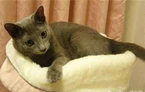 弓形虫治疗 猫咪弓形虫的治疗方法