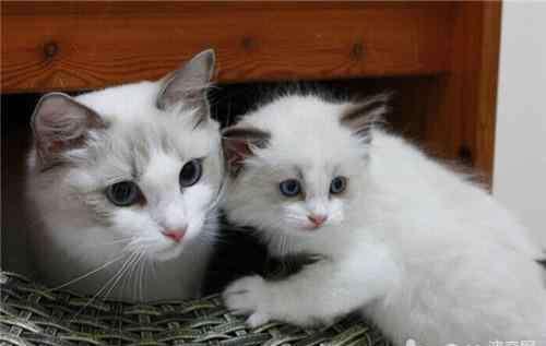 胸膜炎的治疗 猫咪胸膜炎的治疗措施