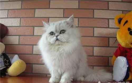 气喘病的治疗方法 猫咪支气管哮喘的治疗方法