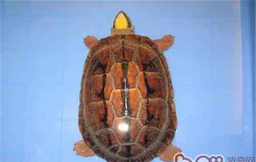 金钱龟的饲养方法 人工快速养殖金钱龟的方法