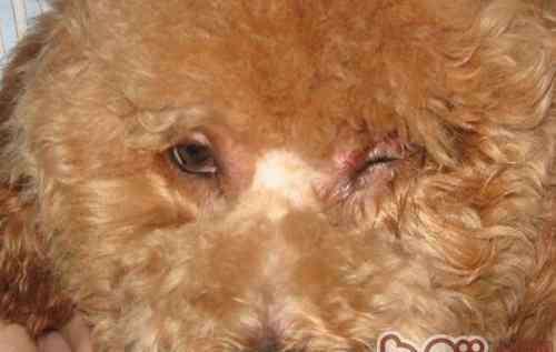 狗狗眼睛睁不开 狗狗眼睛肿睁不开怎么办
