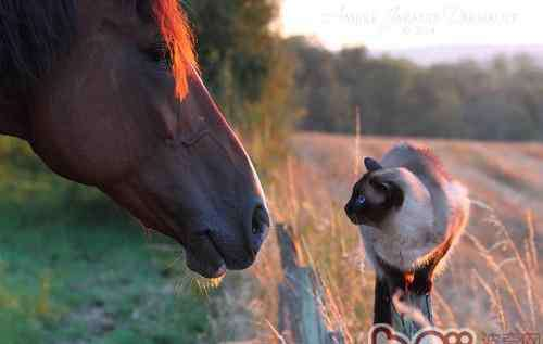 蓝眼睛的猫 蓝眼睛的猫咪真的都是聋子吗